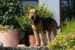 Airedale-Terrier Stockbild