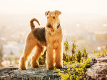 Airedale terrier. A purebred airedale terrier outdoors stock images