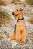Airedale terrier. Purebred airedale terrier sitting outdoors Royalty Free Stock Photos