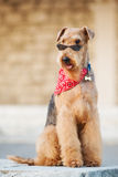 Airedale terrier. Purebred airedale terrier sitting outdoors royalty free stock image