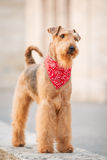 Airedale terrier. Purebred airedale terrier standing outdoors royalty free stock photography