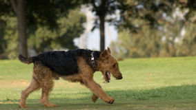 Airedale Terrier. Running in the park Stock Photos