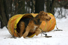 Airedale Terrier on agility. Airedale Terrier on winter agility Royalty Free Stock Photos