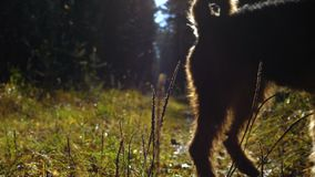 The dog runs through the sun-drenched glade in the autumn forest. Airedale Terrier breed dog walks along the sun-drenched path in the autumn coniferous forest stock footage