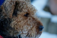 Airedale  Terrier close-up portrait… Royalty Free Stock Images