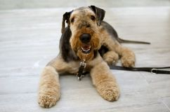 Airedale Terrier dog. Adult male Airedale terrier with leash lying on a gray floor Stock Photo