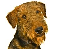 Airedale terrier dog curious expression isolated. Airedale terrier dog with a curious expression on his face isolated on a white background royalty free stock photography