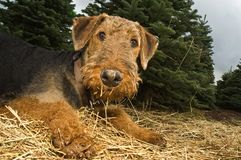 Airedale terrier dog with dirty paws. Airedale terrier dog in a playful position with horribly muddy paws lying in a bed of straw. Christmas trees are the stock photo