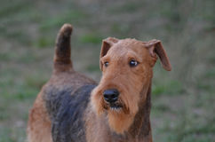 Airedale Terrier Dog Face Royalty Free Stock Photo
