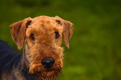 Airedale terrier dog in front of green background. Airedale terrier posed in front of a green backdrop outdoors stock image