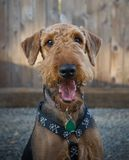 Airedale terrier dog in front of a wooden fence. Happy airedale terrier dog sitting in front of a wooden fence with his tongue hanging out of his mouth royalty free stock image