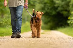 Airedale Terrier. Dog handler is walking with his obedient dog on the road in a forest royalty free stock images