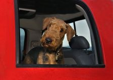 Airedale terrier dog inside big red truck Stock Images