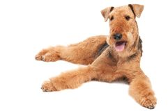 Airedale Terrier dog isolated. One lying Black brown Airedale Terrier dog isolated on white royalty free stock photography