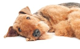 Airedale Terrier dog isolated. One lying Black brown Airedale Terrier dog isolated on white Stock Photos