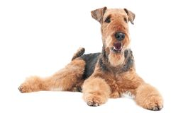 Airedale Terrier dog isolated. One lying Black brown Airedale Terrier dog isolated on white royalty free stock image