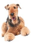 Airedale Terrier dog isolated. One lying Black brown Airedale Terrier dog isolated on white Stock Image