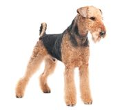 Airedale Terrier dog isolated. One standing Black brown Airedale Terrier dog isolated on white stock images