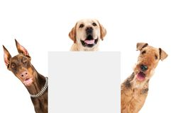 Airedale Terrier dog isolated. Closeup curious heads of Airedale Terrier, labrador retriever and Doberman pinscher dogs isolated on white Royalty Free Stock Photography