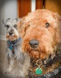 Airedale terrier dog with miniature schnauzer. Airedale terrier close up with schnauzer in the background royalty free stock image