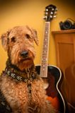 Airedale terrier dog in music studio with guitar. Airedale terrier dog posing next to an acoustic guitar inside a music studio stock photography