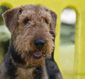 Airedale terrier dog at the park. On a yellow play structure stock photography