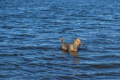 Airedale terrier dog playing in the water on a lake. stock images