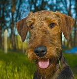 Airedale terrier dog portrait. Portrait of an airedale terrier with a piece of grass hanging from a wet beard outside in the backyard of a country home stock image