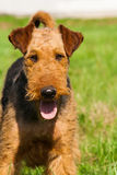 Airedale terrier dog portrait Royalty Free Stock Photos