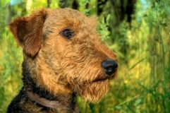 Airedale terrier dog profile closeup. Airedale terrier dog in profile posing in a meadow full of green grass royalty free stock photography