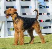 Airedale Terrier dog Stock Image