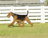 Airedale Terrier dog. A profile view of a black and tan Airedale Terrier dog walking on the grass, looking happy. It is known as the king of terriers as it is stock photos