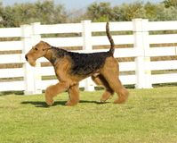 Airedale Terrier dog. A profile view of a black and tan Airedale Terrier dog walking on the grass, looking happy. It is known as the king of terriers as it is royalty free stock photos