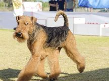 Airedale Terrier dog Royalty Free Stock Image