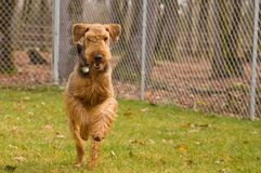 Airedale terrier dog running outdoors. An active airedale terrier dog running outside in thefenced backyard stock image