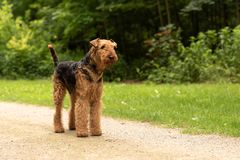 Airedale Terrier doch ist standig on a street stock image
