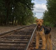 Airedale terrier dog stands beside rail road track Royalty Free Stock Photo