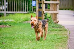 Airedale Terrier dog walking on grass. In park royalty free stock image