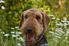 Airedale terrier dog in wildflowers. Airedale terrier dog sitting in a patch of wildflowers with a happy expression on his face stock photo