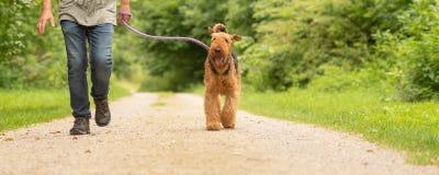 Airedale Terrier El controlador de perro est? caminando con su perro obediente en el camino en un bosque imagen de archivo libre de regalías