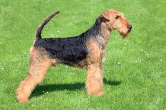 Airedale Terrier en un césped de la hierba verde imagen de archivo