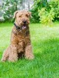 Airedale Terrier es un perro fuerte y muscular de la talla media imagenes de archivo
