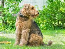 Airedale Terrier es un perro fuerte y muscular de la talla media imágenes de archivo libres de regalías