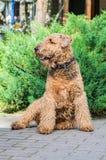 Airedale Terrier es un perro fuerte y muscular de la talla media foto de archivo