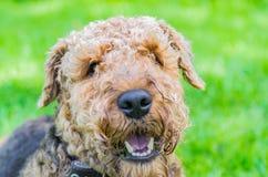 Airedale Terrier es un perro fuerte y muscular de la talla media fotos de archivo libres de regalías