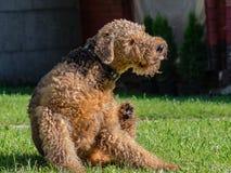 Airedale Terrier es un perro fuerte y muscular de la talla media fotografía de archivo libre de regalías
