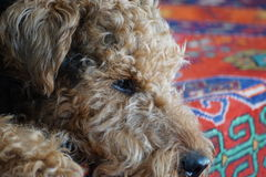 Airedale  Terrier indoor close-up portrait… Royalty Free Stock Photo