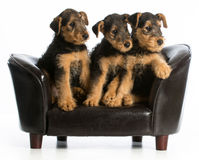 Airedale terrier litter Royalty Free Stock Image