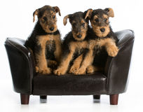 Airedale terrier litter Royalty Free Stock Photography