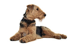 Airedale Terrier lying on the white studio floor and looking rig. Airedale Terrier lying on the white studio floor and looking to right royalty free stock photos